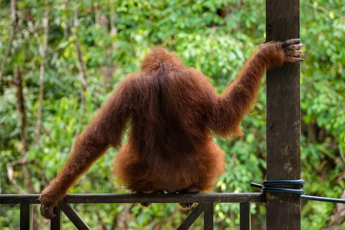 Female orangutan sitting on the fence in Semenggoh Nature Reserve, Sarawak, Borneo, Malaysia