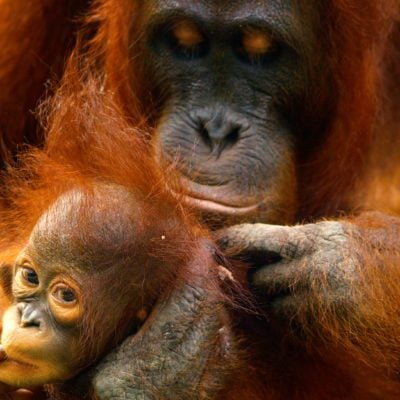 Female orangutan with her baby in the rainforest of borneo