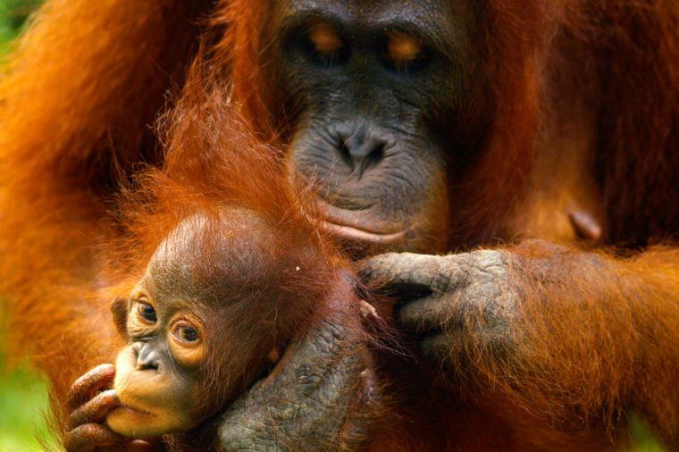 Female orangutan with her baby in the rainforest of borneo