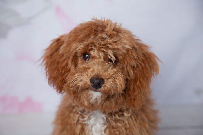 Fluffy Redhead Bichon Poodle Bichpoo Dog on a Girly Floral Backdrop