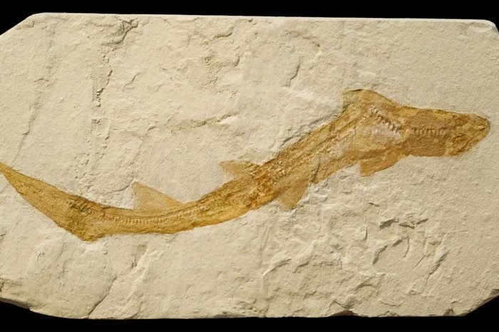 Fossil of a small shark, isolated on black.