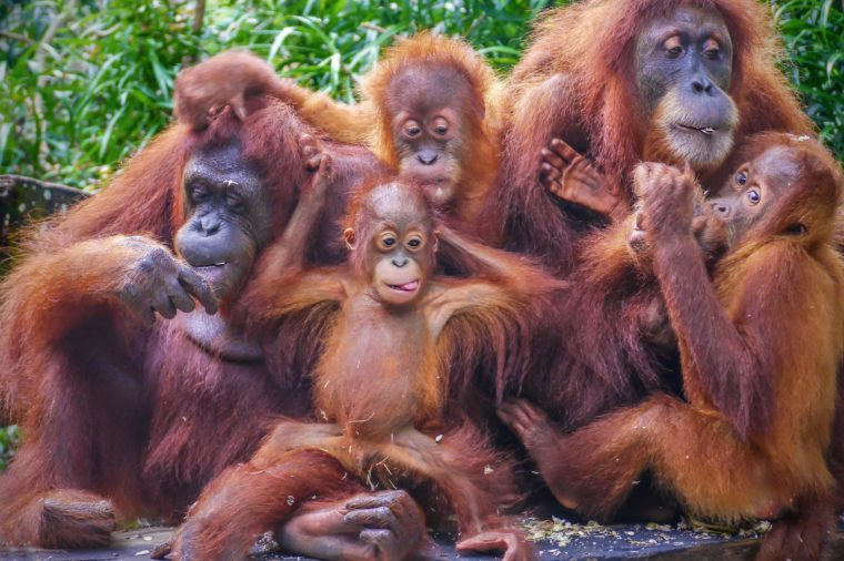 Funny portrait of a group of orangutans, including two mothers with their young offspring, enjoying a snack of sunflower seeds.