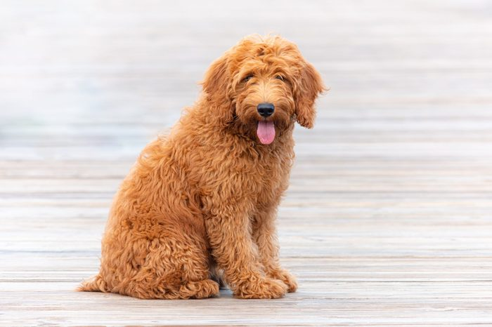 Goldendoodle puppy on pier in Florida 4 month old cute dog