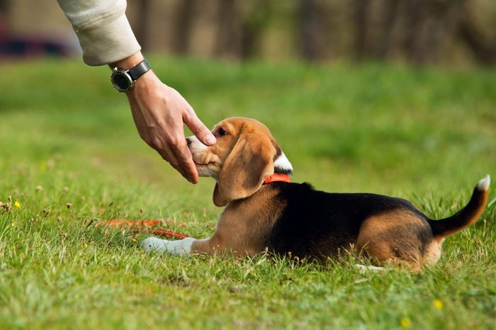 Good doggy. Master hand with delicacy for beagle puppy