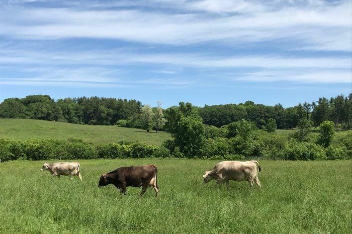 Grass fed cows grazing in Burlington Vermont