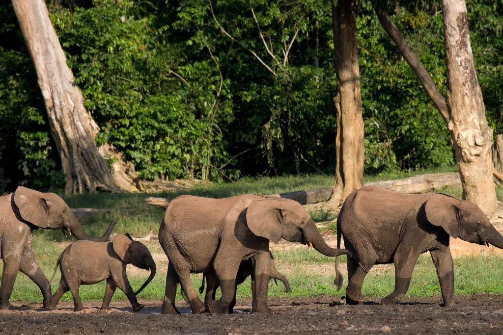 Group of forest elephants in the forest edge. Republic of Congo. Dzanga-Sangha Special Reserve. Central African Republic. An excellent illustration.