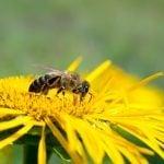 Why the World Needs Honeybees