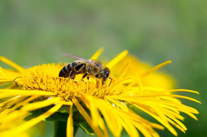 Honeybee, harvesting, flower, polen, healty