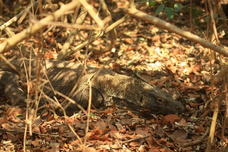 Komodo dragons shelter under shady trees. In addition to avoiding heat, it is also one of the camouflage to catch hunting.