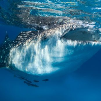 11 Whale Shark Facts You Probably Didn't Know