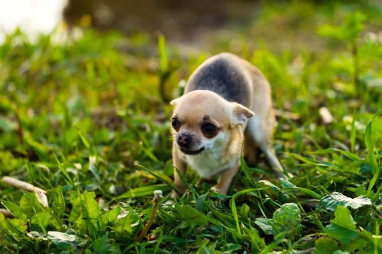 Little scared chihuahua dog on the background of green grass