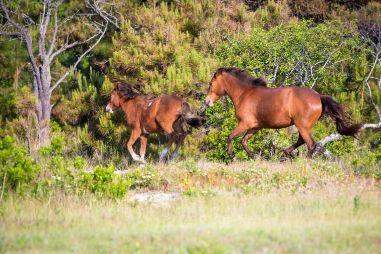 A pair of wild ponies (Equus caballus) running at Assateague Island National Seashore, Maryland