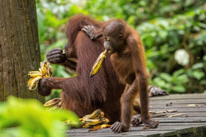 Orangutan and his son eating some dishes in the Spilok park
