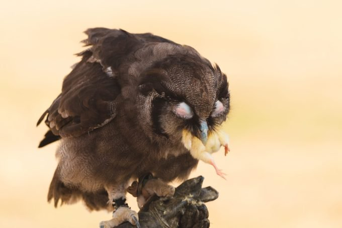 Owl Feeding on Small Bird