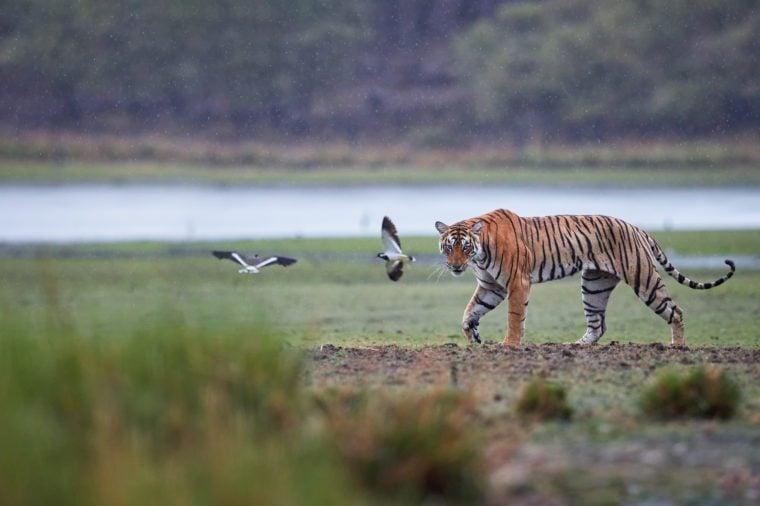 Panoramic photo of wild Bengal tiger, Panthera tigris in heavy rain. Tigress against lake. Tiger and two peewits in its natural habitat.Ranthambore National Park, Rajasthan, India