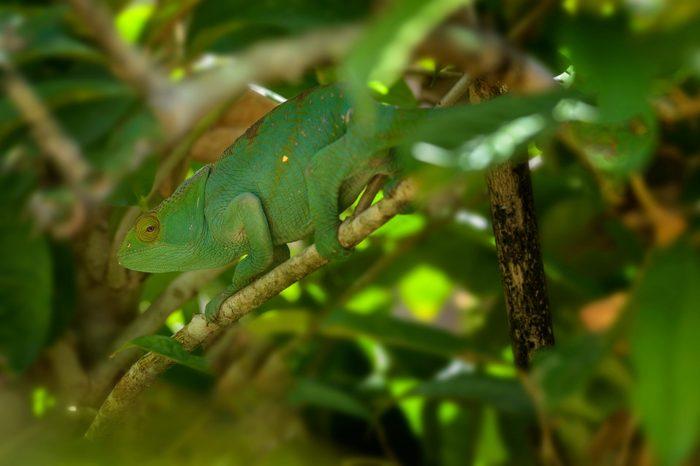 Parson's Chameleon - Calumma parsonii, rain forest Madagascar east coast. Colourful endemic lizard.