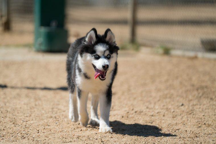 Pomsky (Husky Pomeranian Mix) Running with Tongue Out
