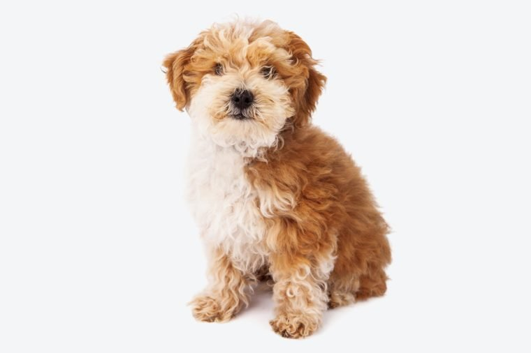 Havanese and Poodle crossbreed puppy sitting against a white backdrop