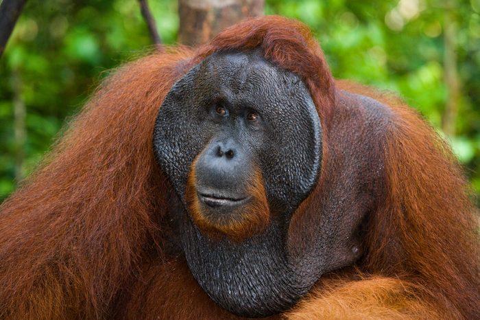 Portrait of a male orangutan. Close-up. Indonesia. The island of Kalimantan (Borneo). An excellent illustration.