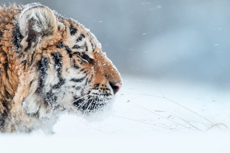 Portrait of young Siberian tiger, Panthera tigris altaica, male with snow in fur, walking in deep snow during snowstorm. Taiga environment, freezing cold, winter. Side view.