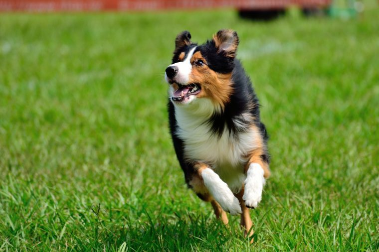 Running dog. TriColor Border Collie.