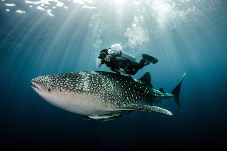 Scubadiver swimming with whale shark