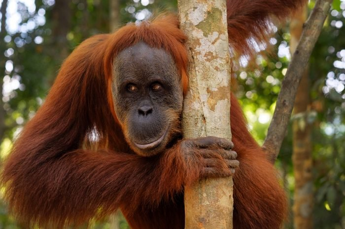 Semi-wild rehabilitated Orangutan coming down from the trees to get food from tourists
