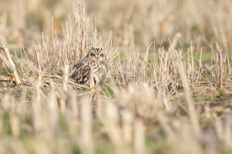Short eared owl hidden in between a field