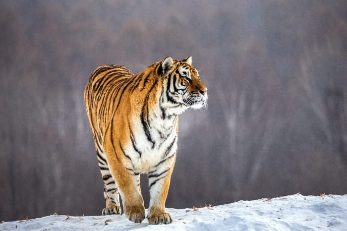 Siberian tiger is standing on a snowy hill on a background of winter trees. China. Harbin. Mudanjiang province. Hengdaohezi park. Siberian Tiger Park. Winter. Hard frost. (Panthera tgris altaica)