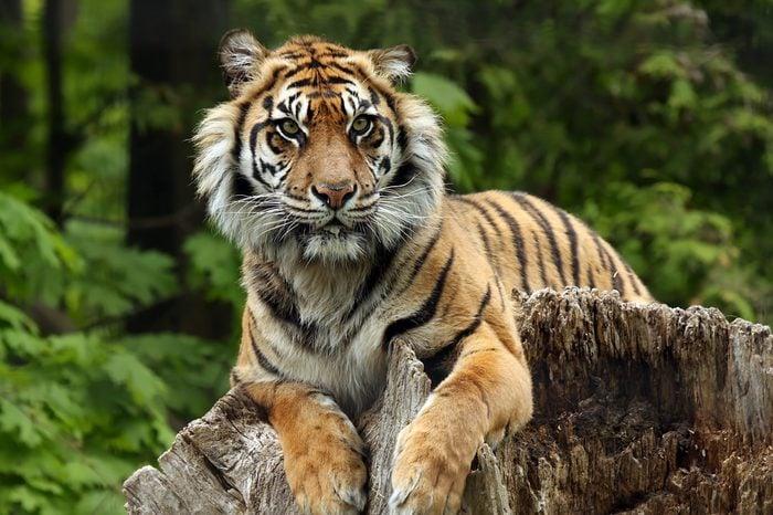 Sumatran Tiger laying on a tree stump.