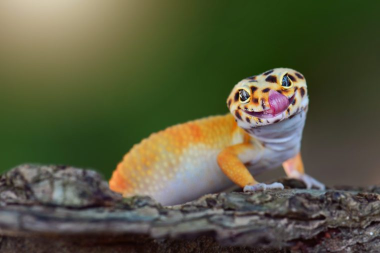 The gecko leopard is smiling funny