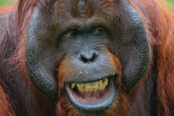Theorangutans are threeextant speciesofgreat apesnative toIndonesiaandMalaysia. Orangutans are currently only found in therainforestsofBorneoandSumatra.