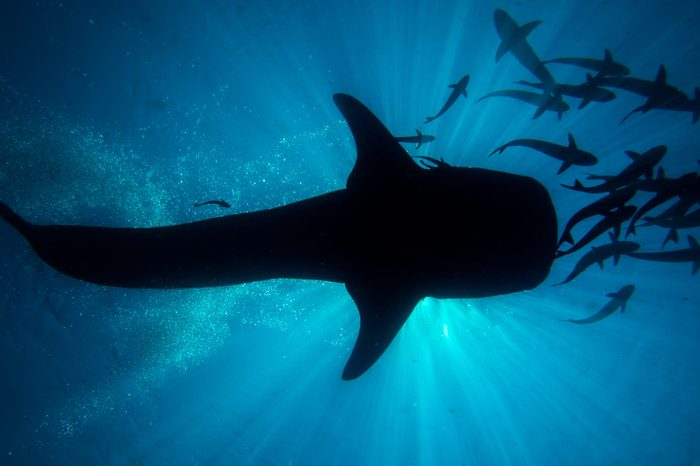 The silhouette of a whale shark, Rhincodon typus, swimming close to the surface.