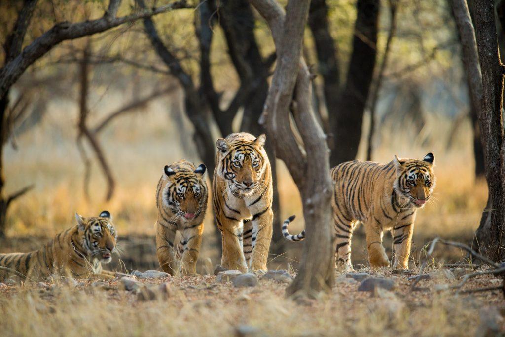 Tiger family a stroll one early morning at Ranthambhore National Park, Rajasthan, India