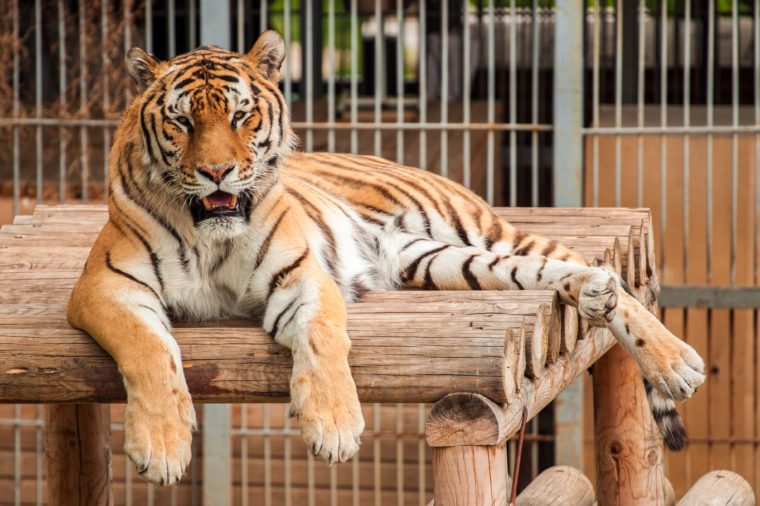 Tiger lying on the wooden platform in the zoo at the background of cage, imprisonment and touristic attraction concept