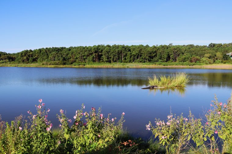View across the expansive salt marsh at Huntington Beach State Park, South Carolina, USA. Landscape with alligator, lying on a small island among the grass. Nature background.