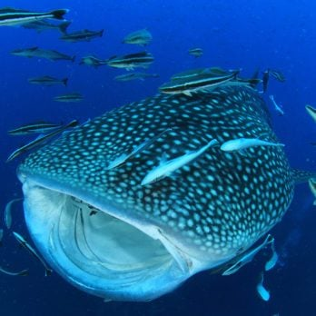 15 Stunning Photos of Whale Sharks in the Wild
