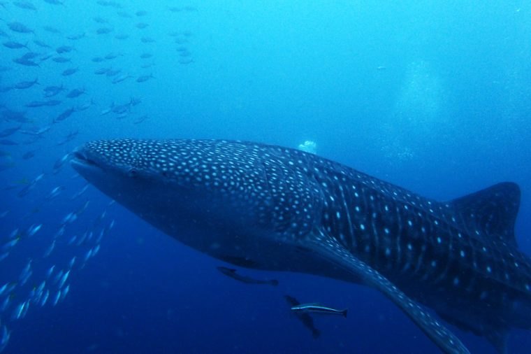 Whale Skark in the sea
