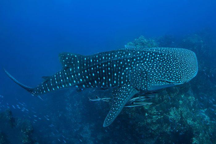 Whale shark in Richelieu Rock, North Andaman, Thailand
