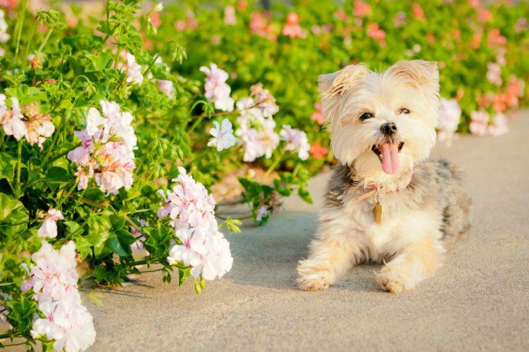 White Yorkshire Terrier/Maltese smiling near flowers