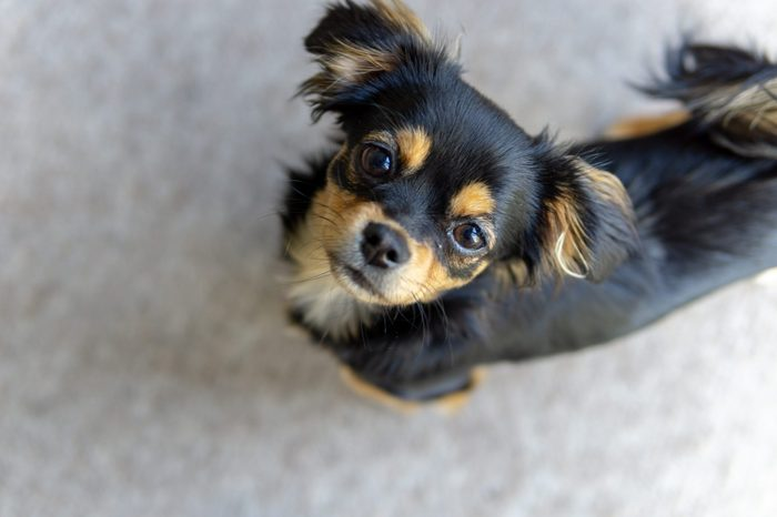 Young cute Chihuahua and Cavalier King Charles Spaniel mixed breed dog looking up towards camera