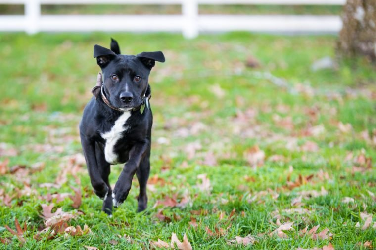 "Action shot of a Boxer-Labrador mix, also known as a ""Boxador"" wearing a bow tie. Room frame right for text and/or graphic. This dog is just ""Boxadorable."""