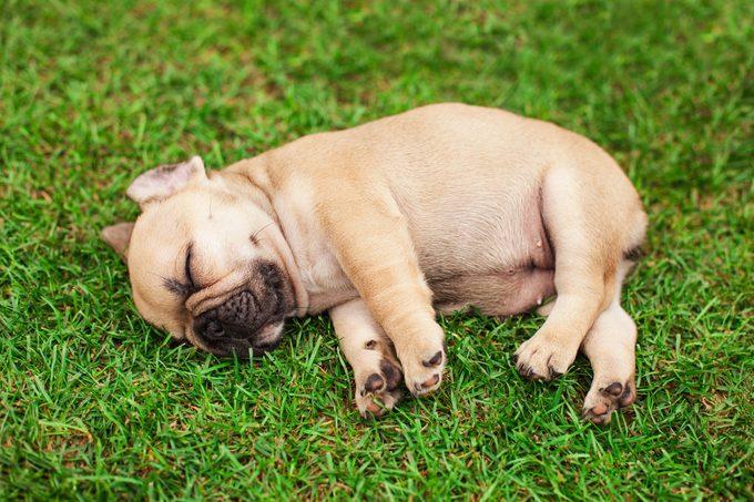 little sleeping French bulldog puppy lying on a beautiful green grass