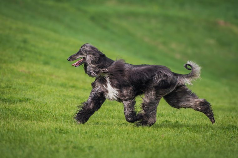 elegant Afghan hound running on the grass