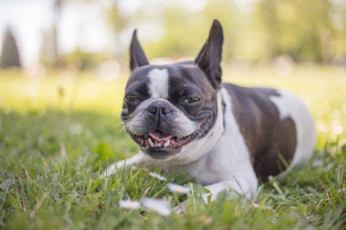 French bulldog mix boston terrier dog