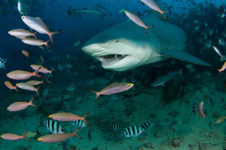 bull shark at Fiji