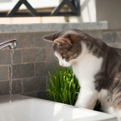 Tabby cat watching the water from the tap