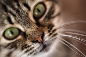 Nose, mustache and mouth of a cat, close-up, selective focus