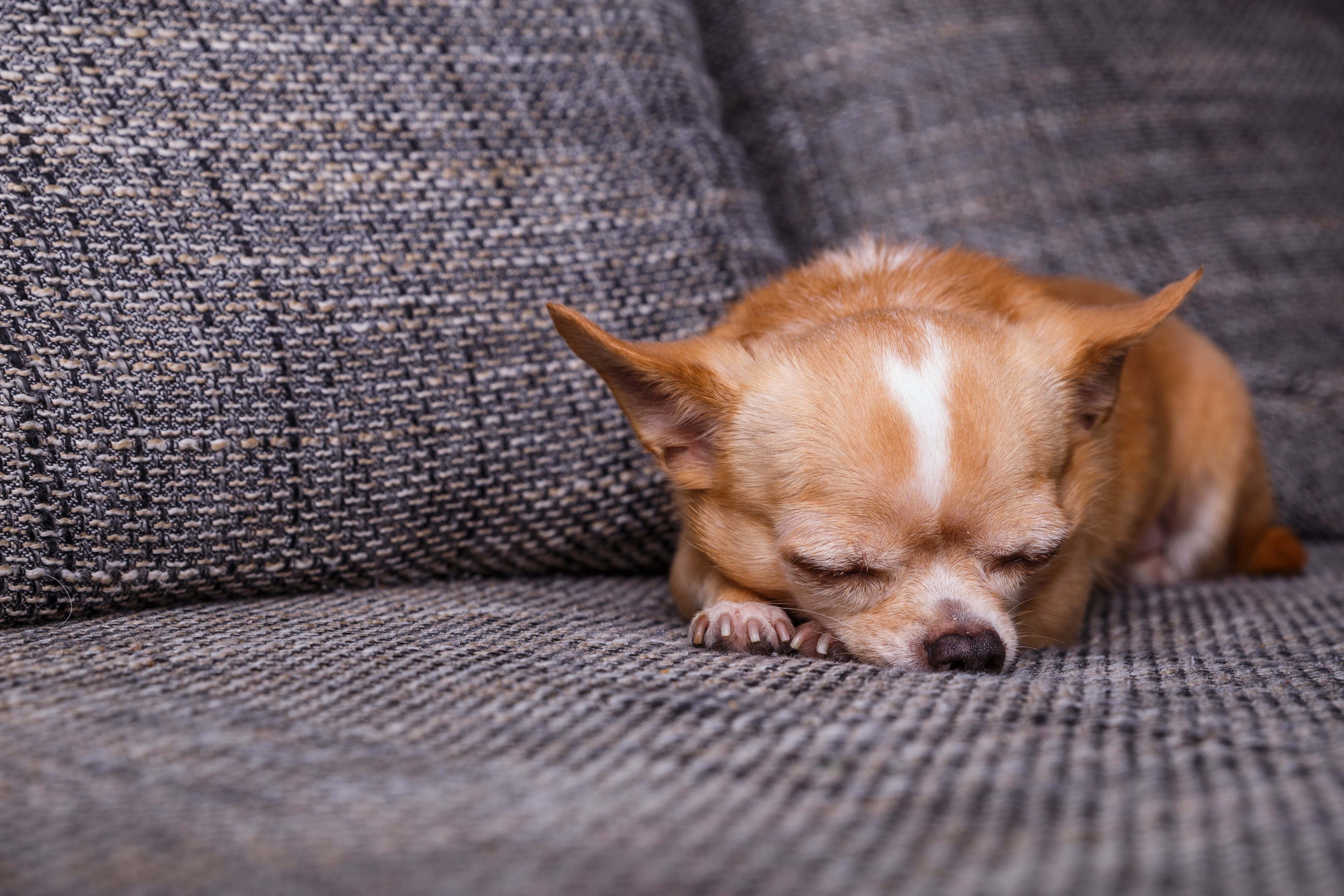 Chihuahua puppy sleep. Adorable dog lying on sofa. Cute looking purebred pet.