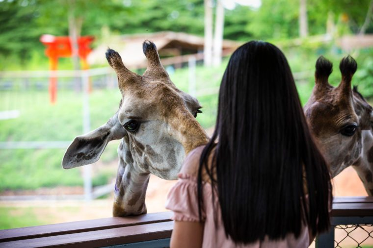 close up head shot giraffe in the zoo and young women tourist are feeding foreground in Thailand zoo